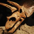 The skeleton and skull of a triceratops on display in the Morian Hall of Paleontology.