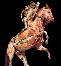An anatomical piece in Body Worlds showing the anatomical details of the human body and a horse.