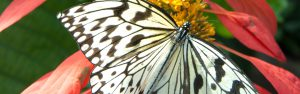 A close up photograph captured in the butterfly garden. This photograph shows color variation in butterfly wings as it rests next to flower petals.
