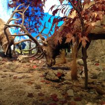 A group of deer shown in their replicated habitat in the Farish Hall of Texas Wildlife.