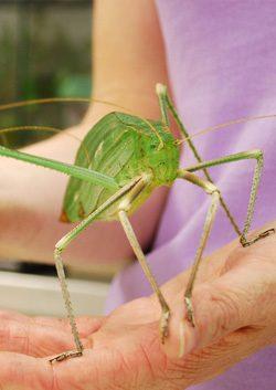 Giant Long-Legged Katydid | Houston Museum Of Natural Science