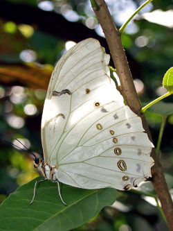 A white morpho butterfly rests in a garden.