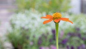 Image shows a in-focus Mexican sunflower—a bright orange red sunflower—in front of other pollinator plants being sold at the plant sale.