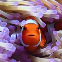 Clown fish peaks out from a sea anemone in the great barrier reef giant screen theatre documentary movie.