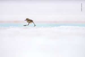 A small plover chick leaves its nest and scurries on stilt-like legs across a snowy white background.