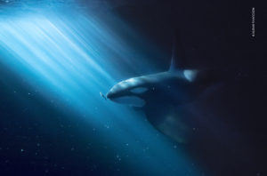 A male eastern North Atlantic orca or killer whale swims behind a herring. A bean of light strikes through the water, illuminating the fish and whale.