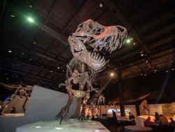 A T. rex skeleton stands in our hall of paleontology.