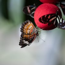A red lacewing butterfly perches on a butterfly feeder in our butterfly garden.