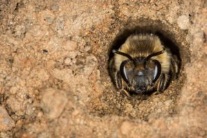 A native Unequal Cellophane Bee Peers from Her Nest