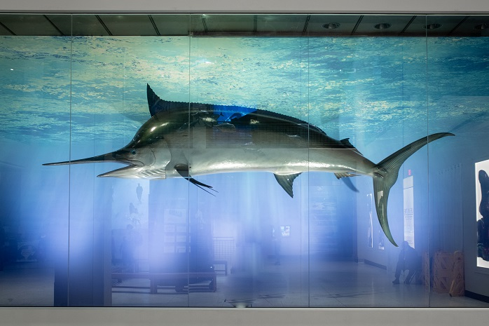 Blue Marlin specimen celebrating World Ocean's Day at the Houston Museum of Natural Science