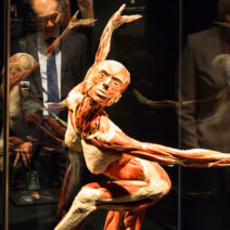 Image shows an anatomy model from the international exhibit Body Worlds.