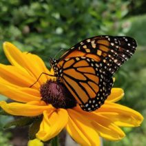 A migrating monarch butterfly in houston texas pollinating a black eyed susan flower